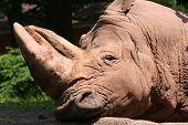Sleepy Rhino Portrait poster