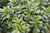 image of jade  - Jade plant symbol and sign of Money Tree - JPG