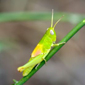 picture of mandible  - green grasshopper in natural habitat in summer - JPG