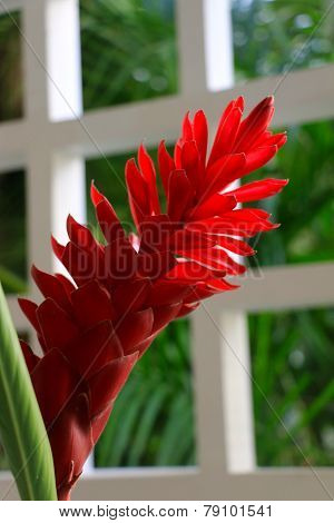 Red ginger flower
