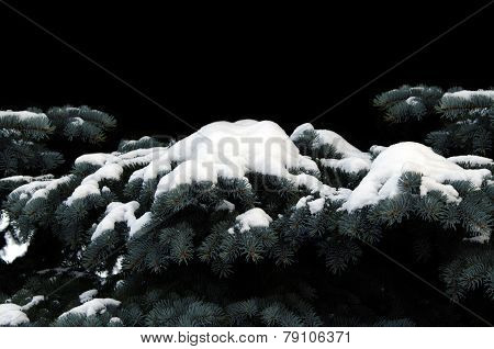 Christmas trees under the snow. Picture of spruce in the snow