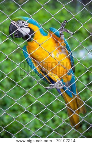 Blue And Yellow Macaw In Cage