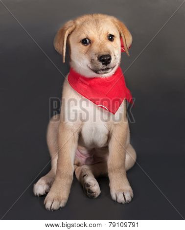 Little Yellow Puppy In Red Bandanna Sitting On Gray