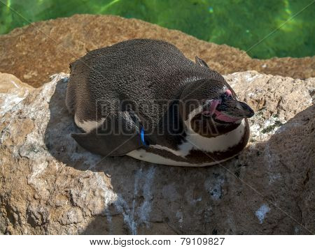 Black And White Tux With A Black And Red Beak Lies On A Rock At The Zoo