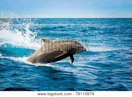 beautiful playful dolphin jumping in the ocean