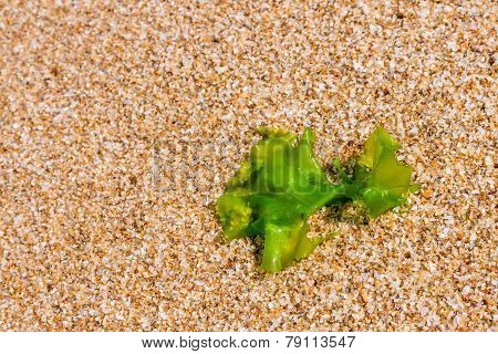 Seaweed On A Beach Sand, Closeup Algae