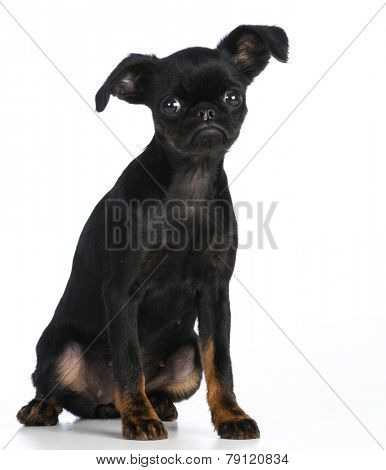 cute puppy - brussels griffon puppy looking at viewer on white background