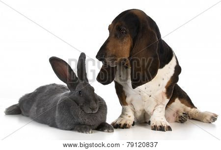 hunting dog - basset hound sitting beside a giant flemish rabbit on white background