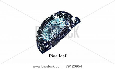Pine Leaf Micrograph