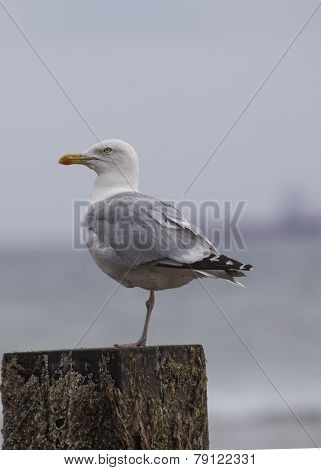 Great Black-backed Seagull
