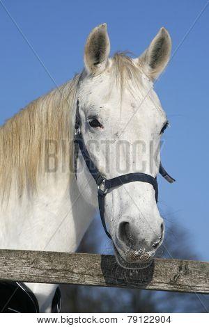 Portrait Head Shot Of A Gray Horse Rural Scene