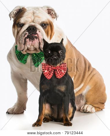 two dogs - brussels griffon and english bulldog wearing bow ties sitting on white background
