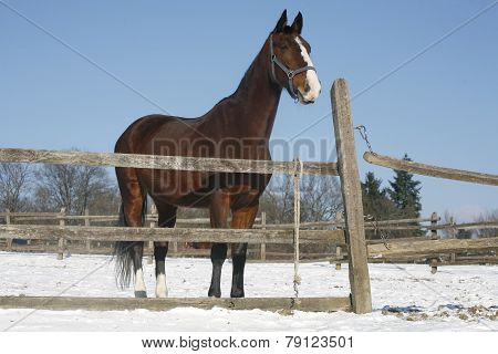 Warm Blood Bay Horse Standing In Winter Corral Rural Scene