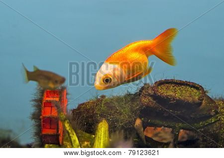 Beautiful Gold Fish