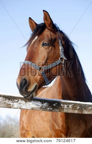 Portrait Of A Purebred Horse On A Sunny Winter Day
