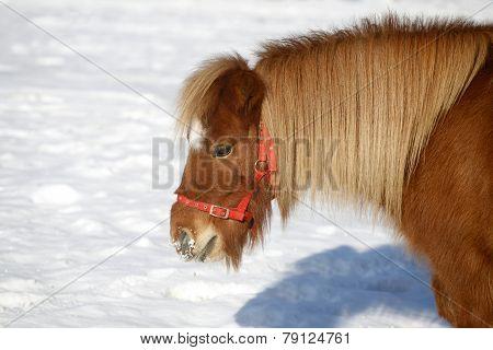Beautiful Pony Horse Portrait In Winter Meadow