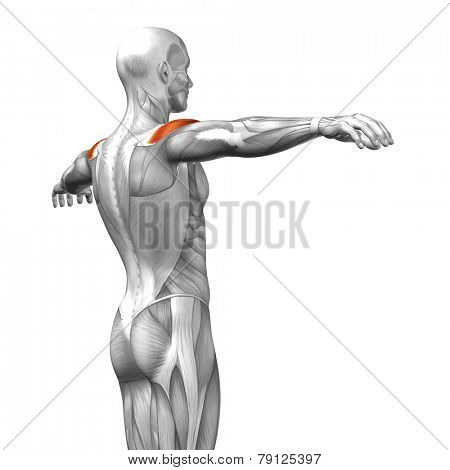 Concept or conceptual 3D deltoid or back human anatomy or anatomical and muscle isolated on white background