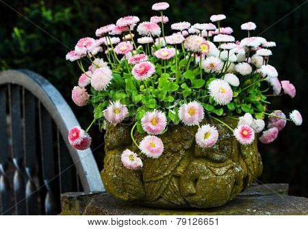 Bellis perennis in stone pot