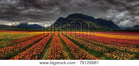 Parallel rows of colorful tulips converging in the distance with dark mountains
