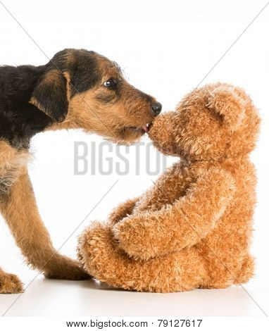 cute puppy reaching out to kiss stuffed teddy bear - airedale terrier
