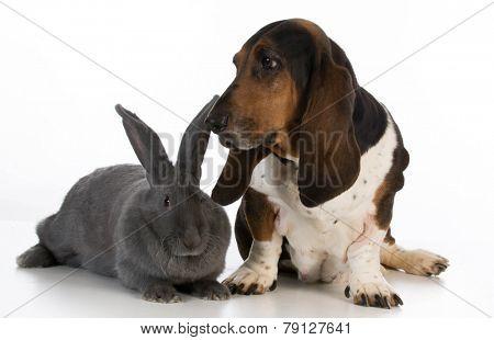 basset hound sitting beside a giant flemish rabbit on white background