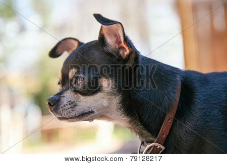 a cute chihuahua looking out a window
