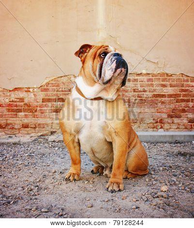 a bulldog posing in an alley
