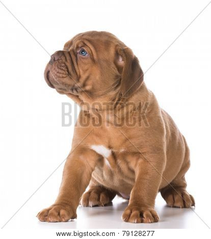 cute puppy - young puppy looking off to the side isolated on white background