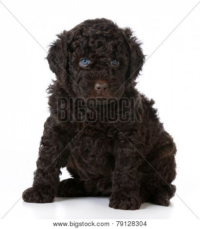 cute puppy - barbet puppy sitting on white background - 5 weeks old