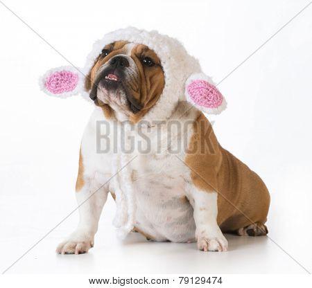 dog wearing knitted lamb hat isolated on white - english bulldog