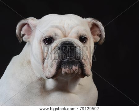 english bulldog puppy portrait on black background - 8 months old