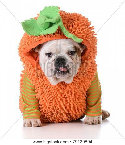 halloween puppy - english bulldog puppy wearing pumpkin costume on white background