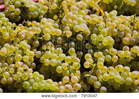 wine harvest (riesling) in moravia in south Czech Republic