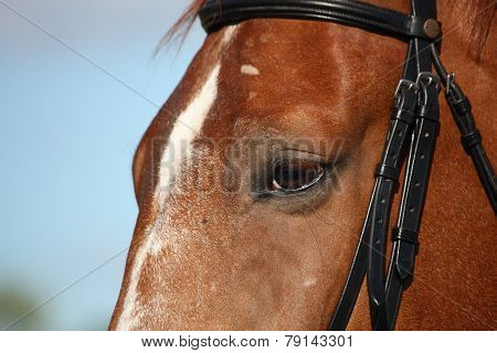 Chestnut Sport Horse Head Close Up In Summer