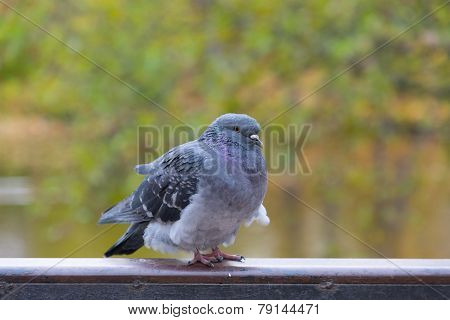 pigeon on the parapet