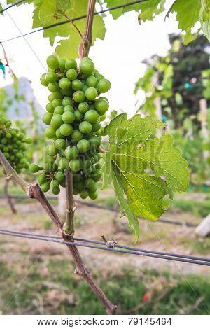 Green Grape in Yard