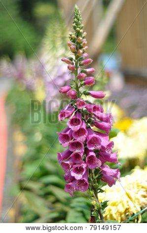Purple Pink Foxglove Plant
