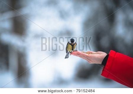 The Titmouse Eats Nuts From A Palm