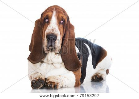 basset hound dog on white