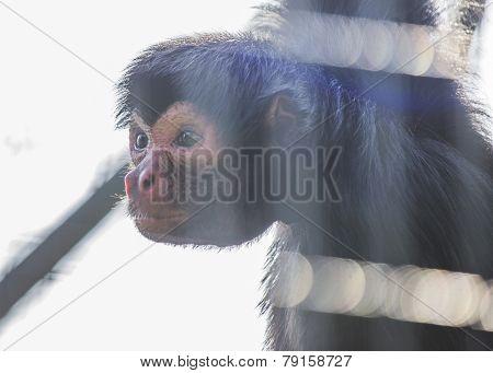 Spider Monkey In Captivity