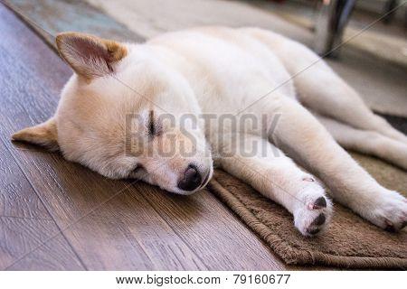 sleeping shiba inu puppy