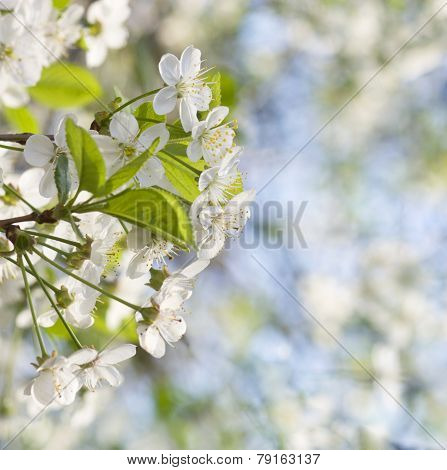 Flowers Of The Cherry