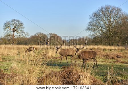 Two red deer walking in autumnal park in late afternoon light.