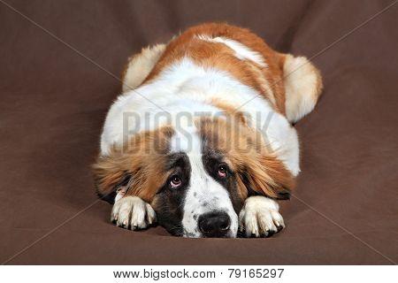 Sad Dog St. Bernard Is Resting Head Lays On Paws.