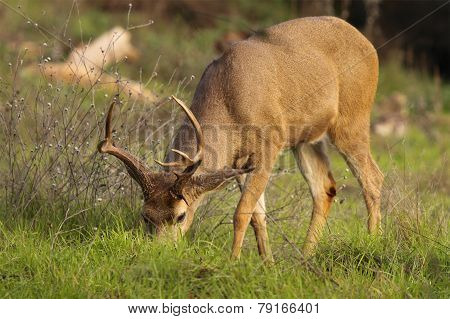 Deer Buck Feeding