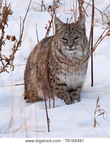 Bobcat Resting In Snow