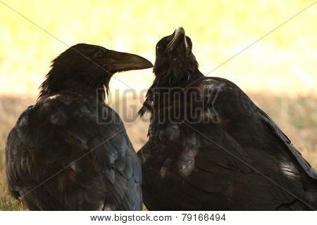 Pair Of Common Raven