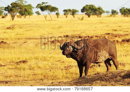 An African Cape or Water Buffalo (Syncerus caffer) on the Masai Mara National Reserve safari in southwestern Kenya.