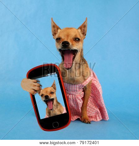 a cute chihuahua sitting with a dress on taking a selfie