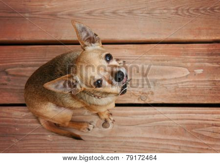 a cute chihuahua sitting on a deck during summer time